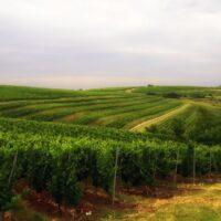 Plantaţia viticolă Amfiteatru Vitis – între istorie și planuri de viitor