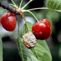 Poți combate eficient monilioza sâmburoaselor folosind fungicidul Signum®
