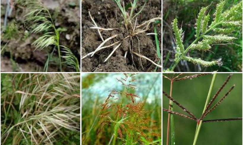 Gramin Max – Cum combatem buruienile monocotiledonate anuale si perene din culturile cu frunza lata